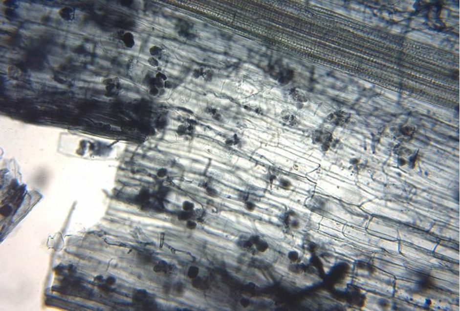 mycorrhizal root tips -amanita-